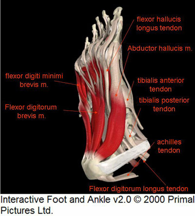 The Foot Anatomy